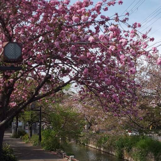教会地元の桜並木は、初夏へ向かって葉桜に。しかし八重桜?は満開‼️The cherry tree path of church hometown riverside is changing towards early summer with baby leaves. Now double cherry blossom is full bloom ‼️