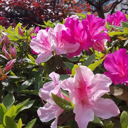 庭のツツジは、初夏の陽射で咲き始めました。 Early summer wind has Azalea of my garden wake up to bloom.