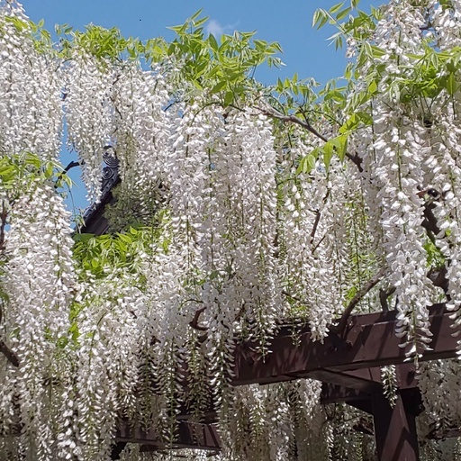 教会地元から走ること20分。藤祭満喫。takes only 20 minutes from church local to reach a festival of Wisteria trellis.