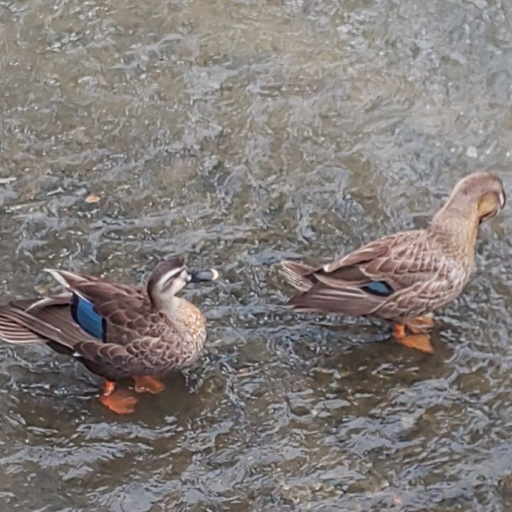 教会地元の川に、鴨がいます。A couple of ducks on the church town river.